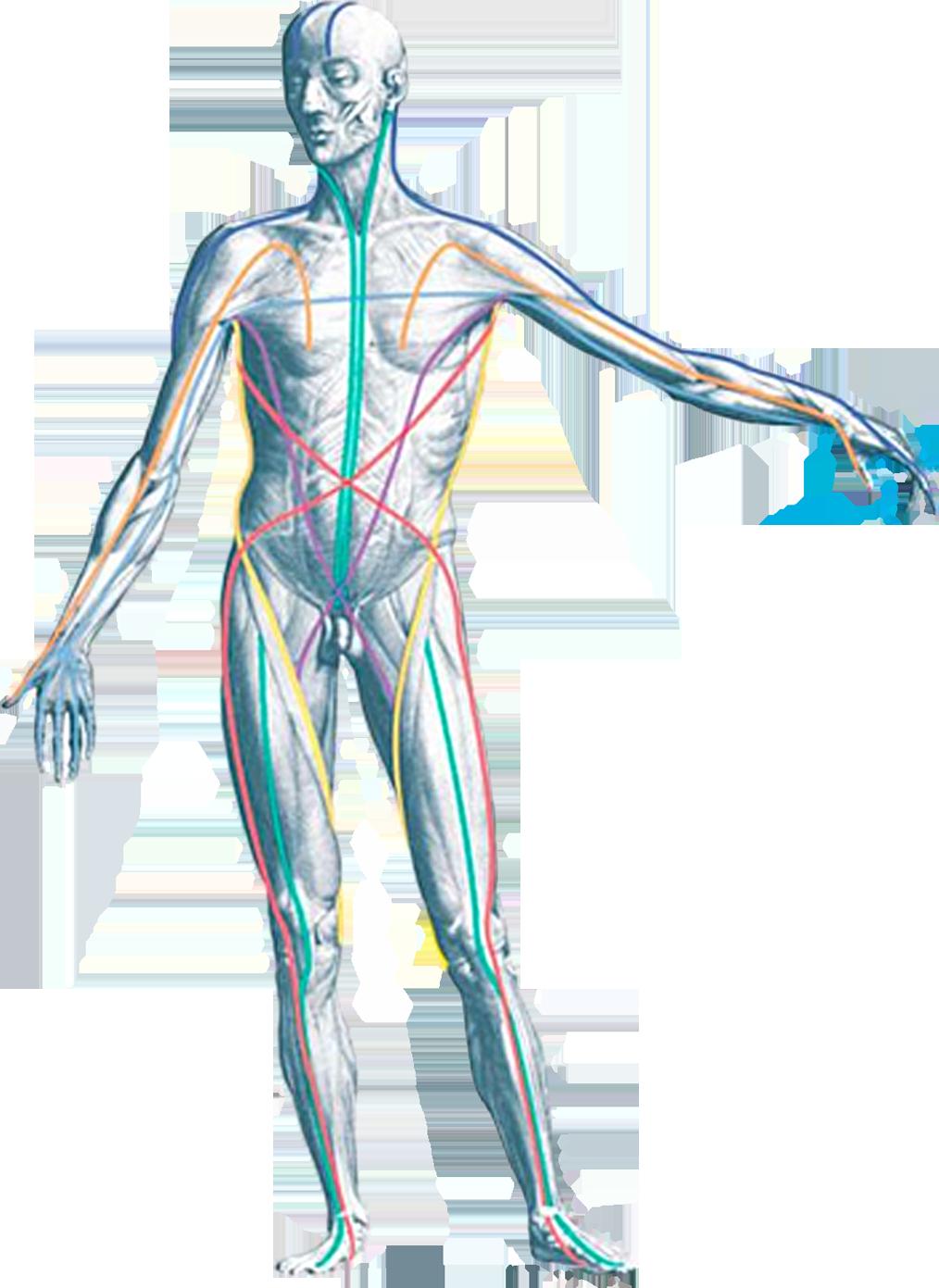 Lujo Las Vías Anatómicas Myers Bosquejo - Imágenes de Anatomía ...