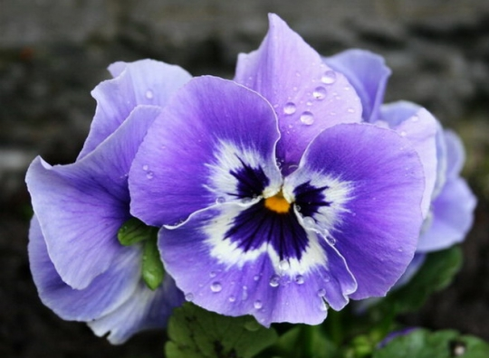 Pansies, in yellow and purple, or any color, always a