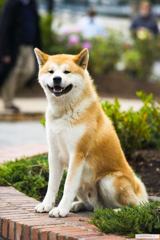 Dog Breed In Hachiko Movie