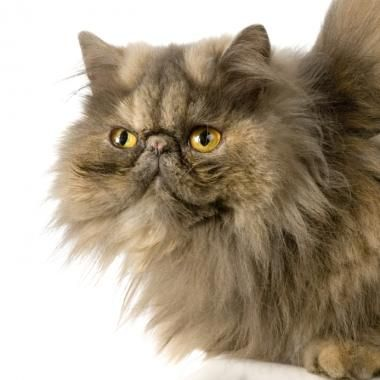 Persian cat smushed face