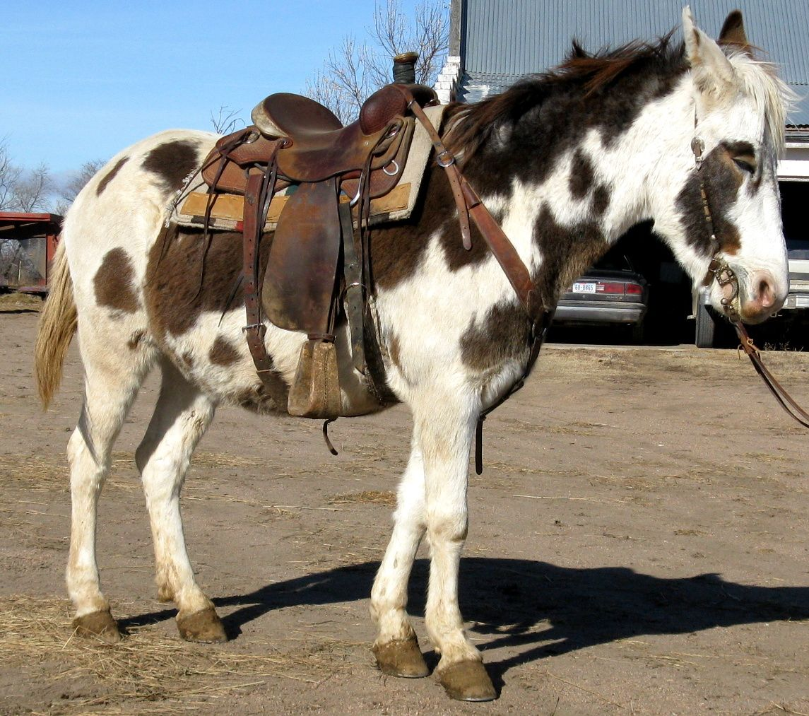 Horse: Spotted Mule (horse X Donkey) This May Be A Hinny, A Cross