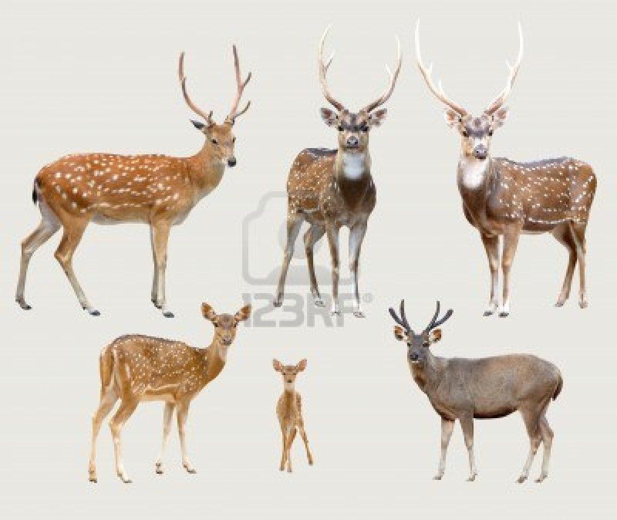 Venado-sika-ciervo-axis-ciervo-de-samba