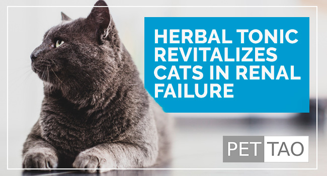 Rehmannia 6 Herbal Tonic Revitalizes Cats with Kidney