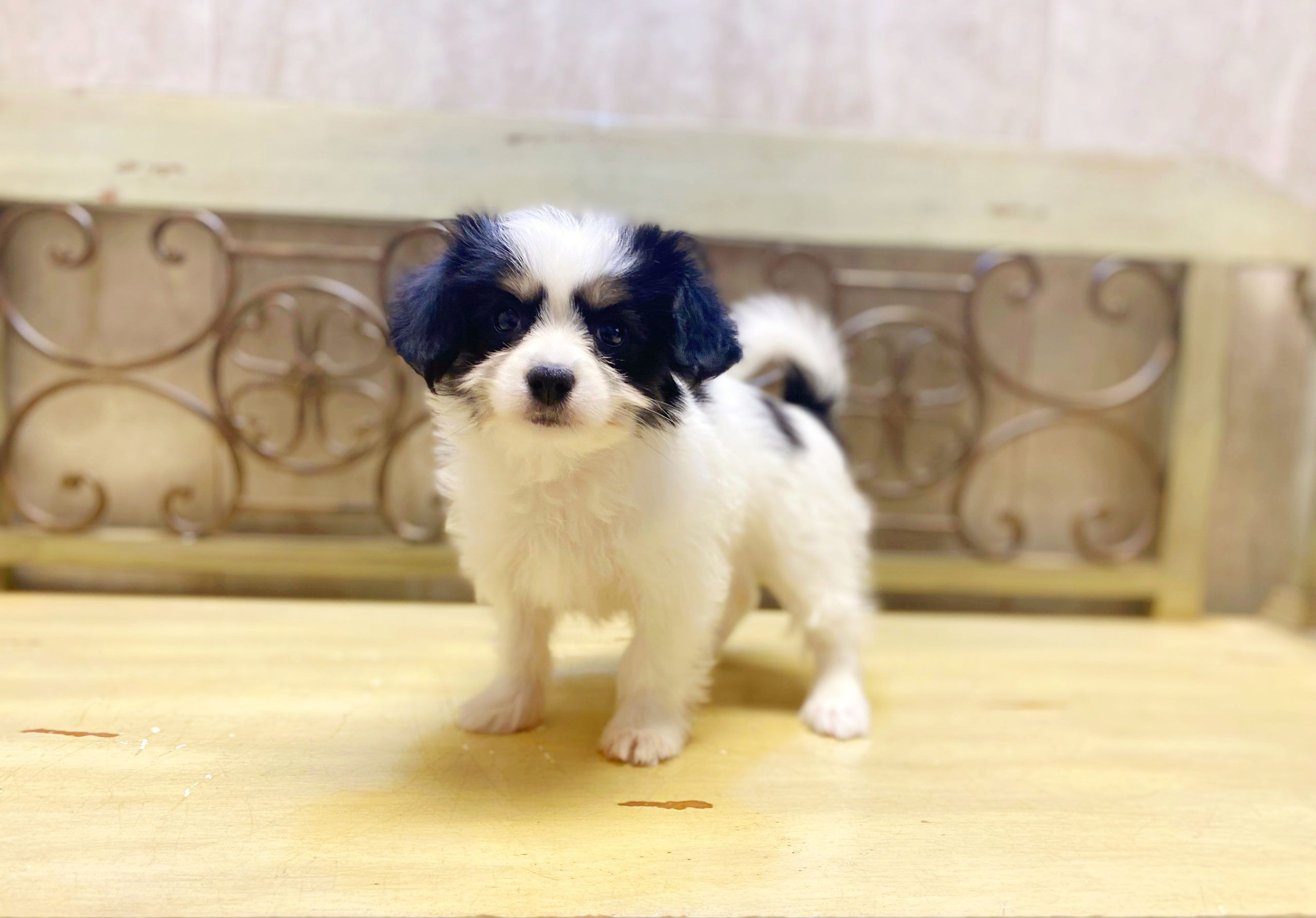 Available Puppies Puppies For Sale In Orlando, Fl in
