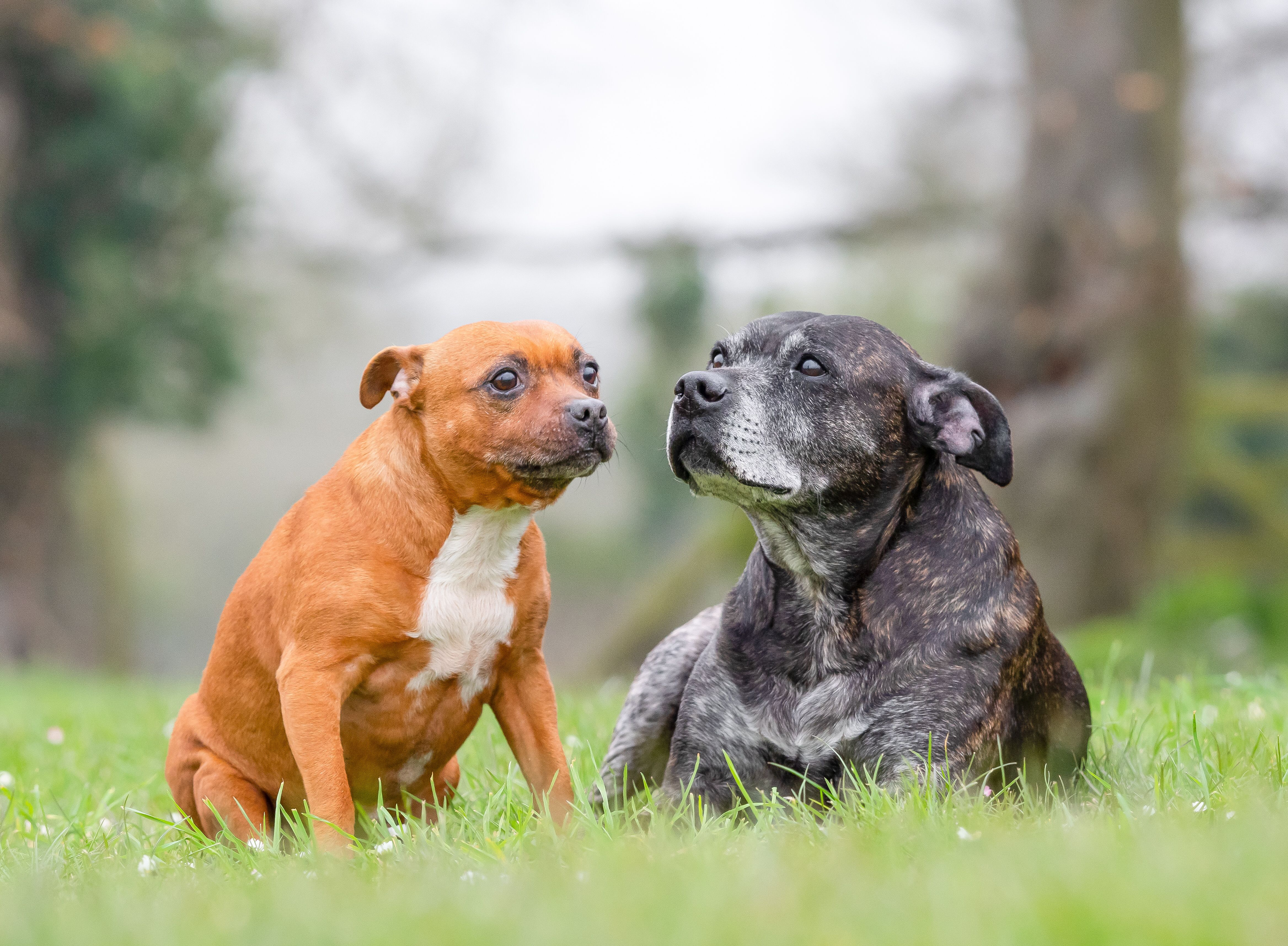 These 2 Wonderful Staffies Are Rescued From Rspca The Grey One Is