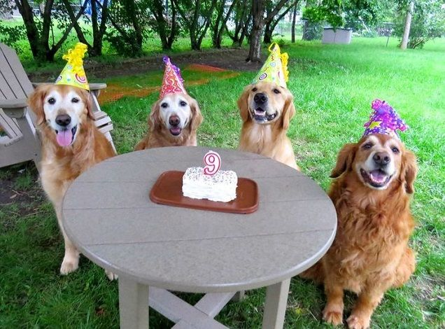 12 Reasons Why You Should Never Plan A Golden Retriever Party