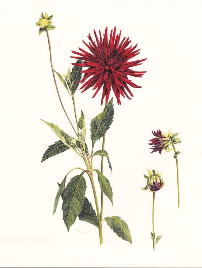 Epingle Par Aleksandra Andrianova Sur Botanicheskie Illyustracii