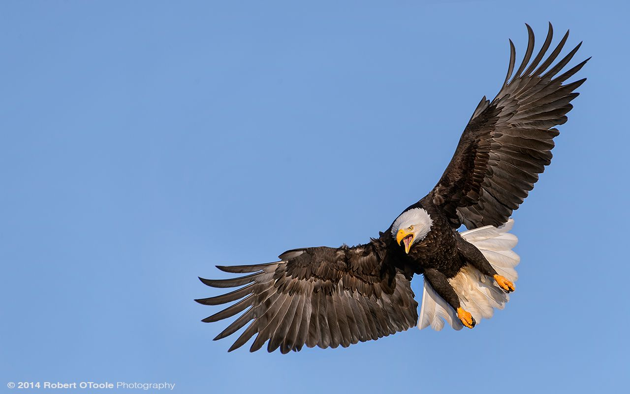 Bald Eagle Workshop - Robert OToole Photography | Projects to Try | Pinterest | Photography ...
