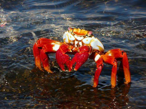 Crab - Galápagos Islands