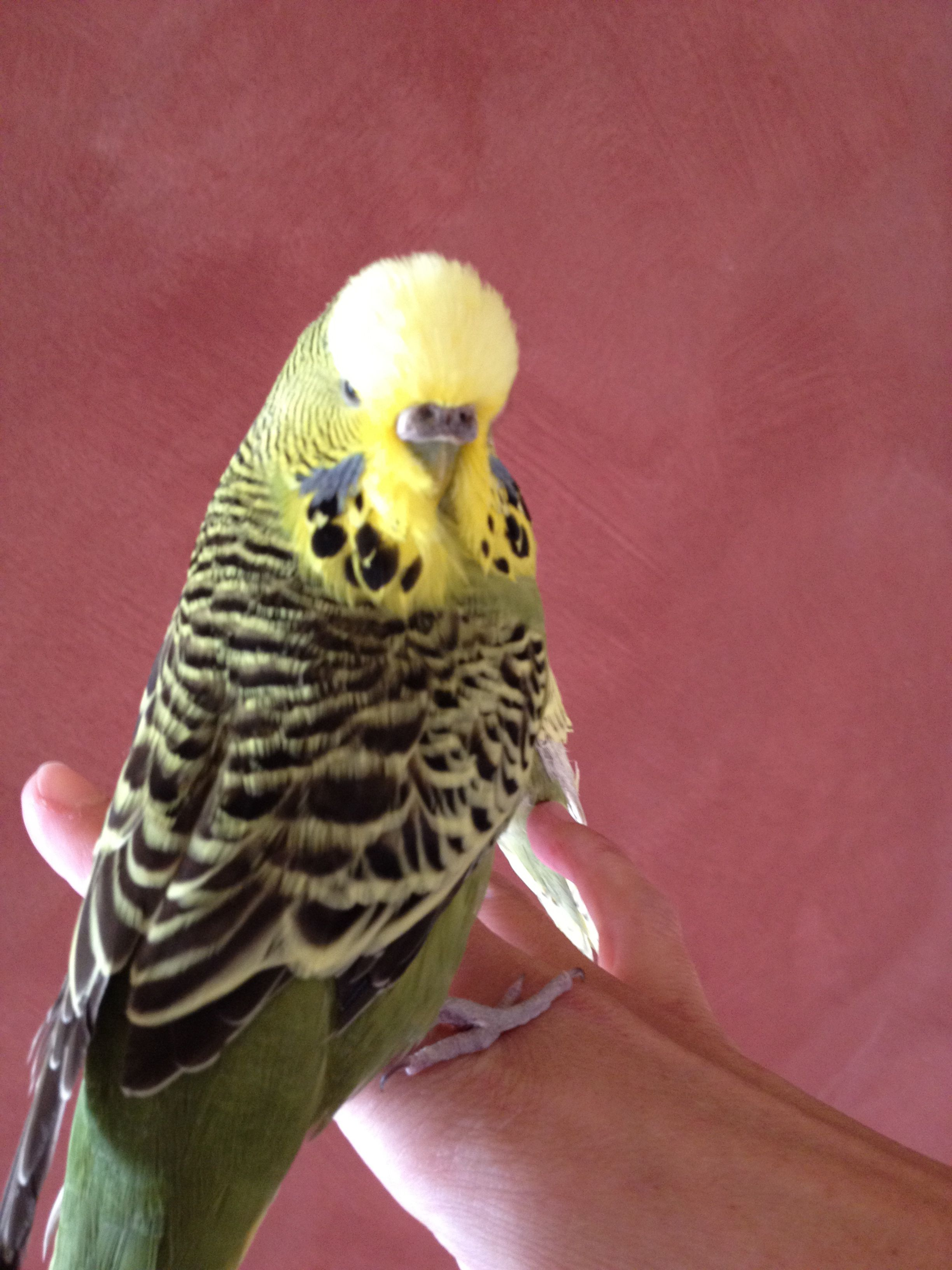 Bug Bug my English budgie who died of a stroke  Lovely bird