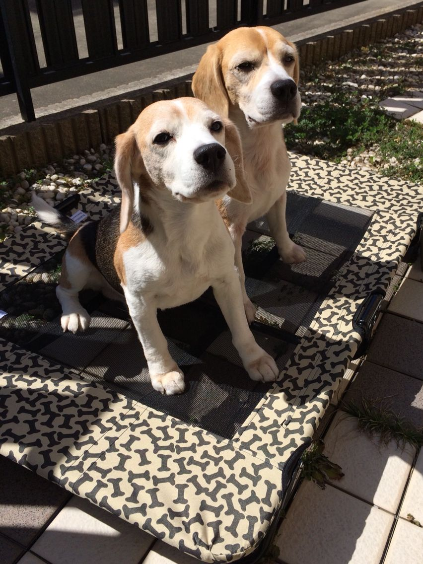 It S Warm Weather Outside Cute Beagles Beagle Beagle Dog