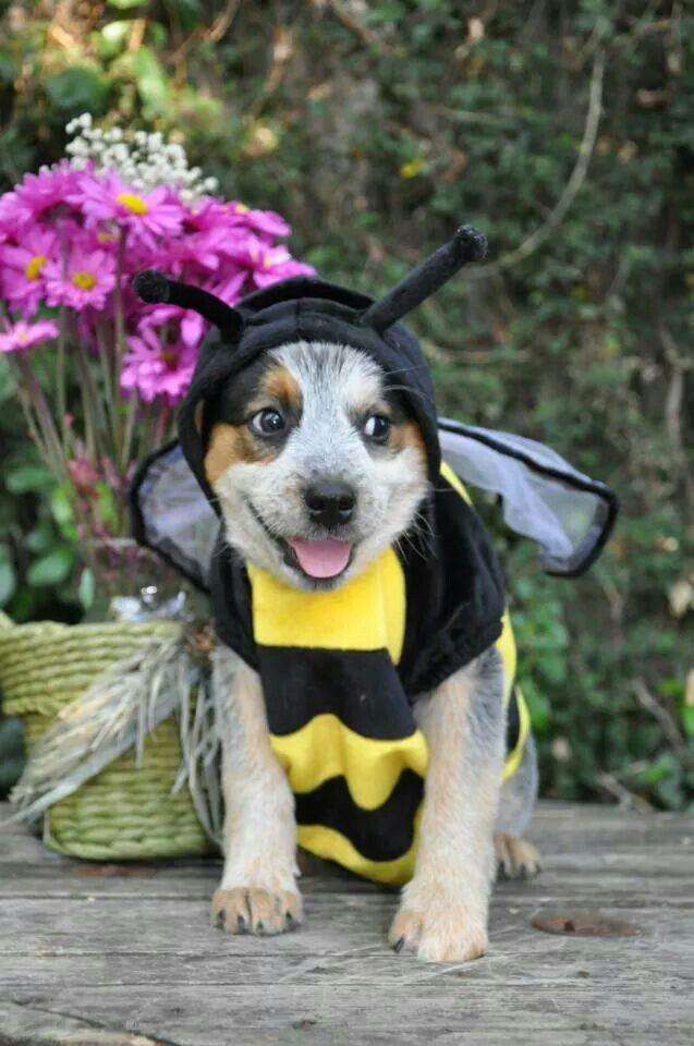 Pin By Crysta Kern On Australian Cattle Dogs Rule My World Cute Cats And Dogs Cattle Dogs Rule Pet Costumes