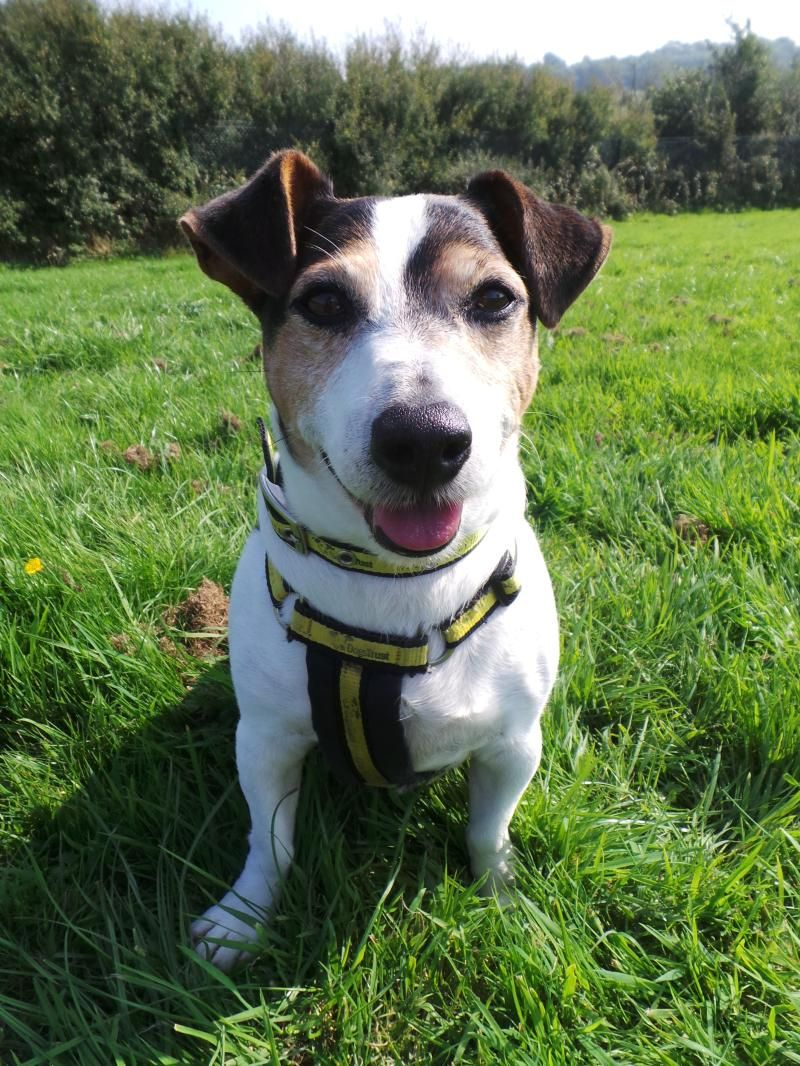 Toby at Dogs Trust Dogs, Jack russell