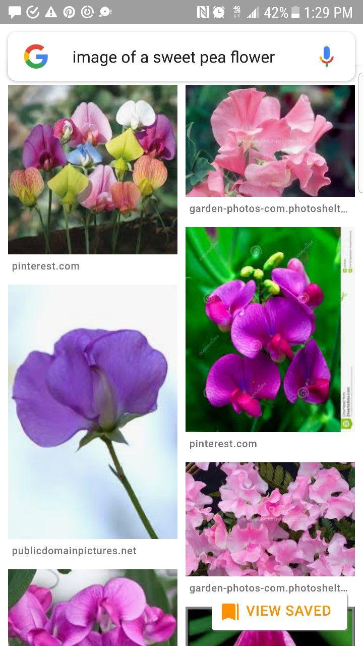April birth flower... the sweet pea April birth flower