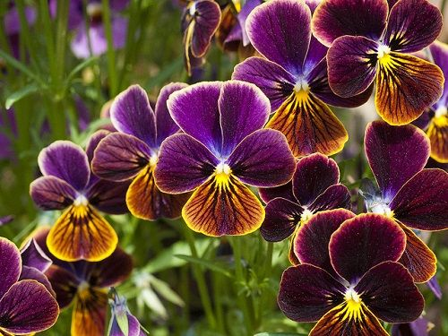 How To Grow And Care For Pansies In Containers Fall Flowers Garden Fall Flowers Flowers Perennials