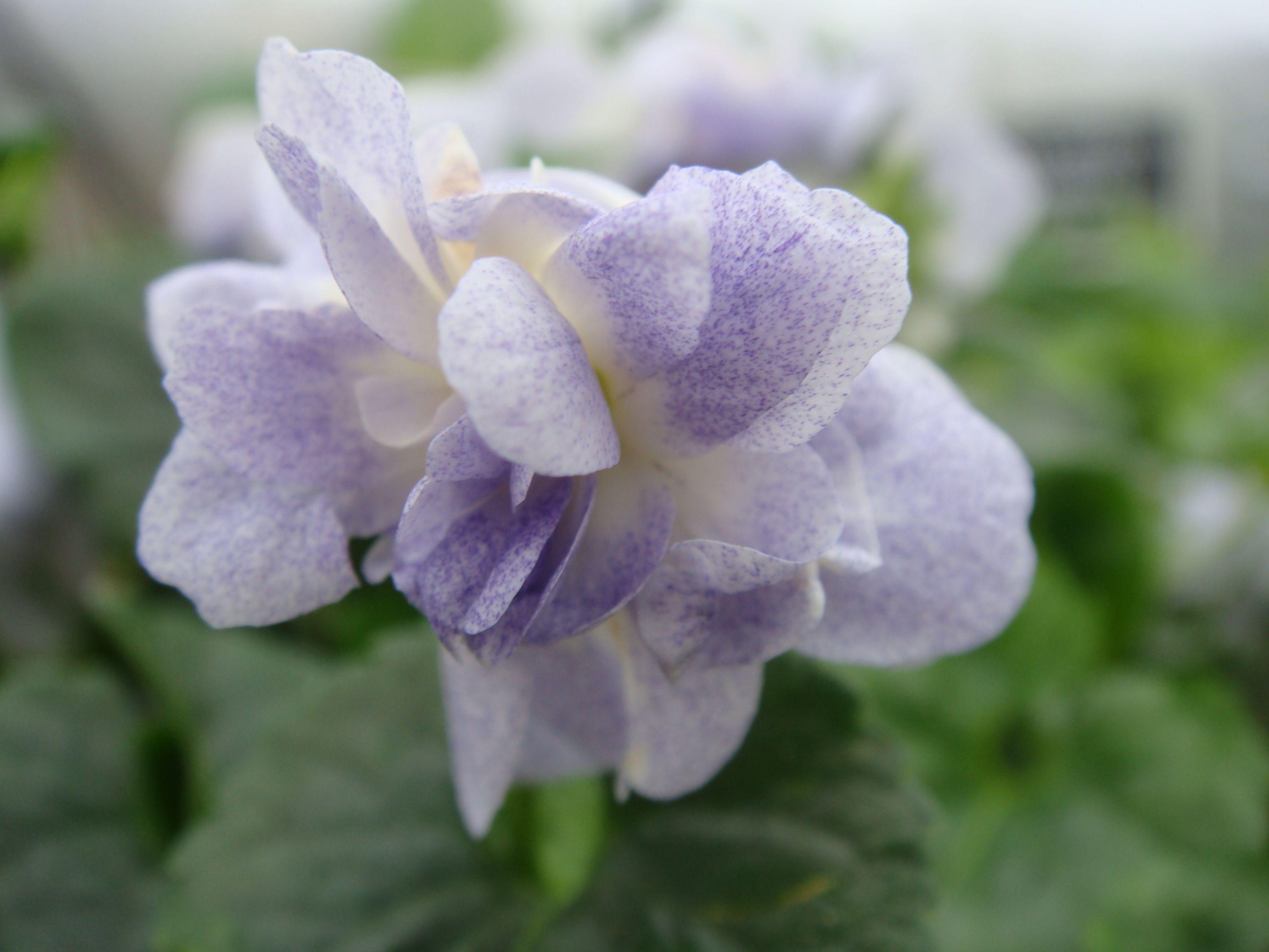 parma violet \'Ferndale\'   Violets   Pinterest