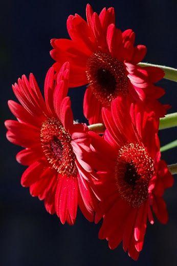 Pin By April Heck On Flores Gerbera Flower Gerbera Daisy Love Flowers