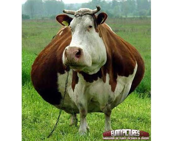 fat cow funny animals