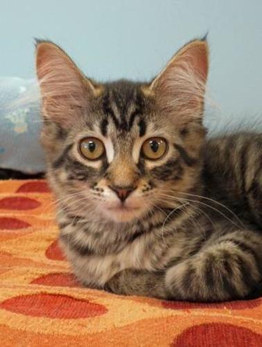 Tristan Domestic Medium Hair Tabby Brown Cat Veradale Wa Tabby Cat Tabby Brown Orange Tabby Cats