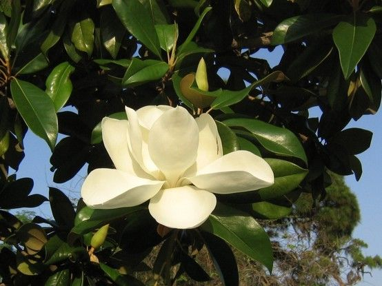 Magnolia grandiflora southern magnolia native to southeastern magnolia grandiflora southern magnolia the large trees are evergreen with large leathery leaves and a fuzzy brown underside the beautiful white flowers mightylinksfo