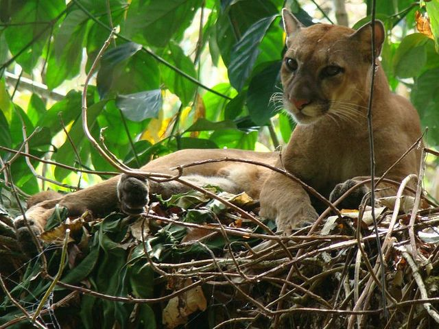 Adult Puma by Bodhi Surf School, via Flickr
