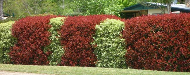 Mixed Hedge Planting Of Photinia Red Robin And Variegated
