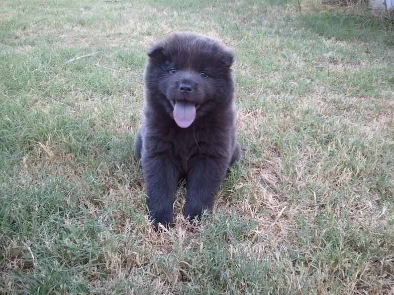 Chow Chow Short Haired Nonsporting Dog Breeds From The Online