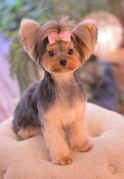 Repinned Yorkie Hairstyle Dog Grooming Styles Yorkshire Terrier Yorkie Hairstyles