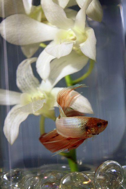 Betta Fish Centerpieces! | Betta | Pinterest | Fish centerpiece ...