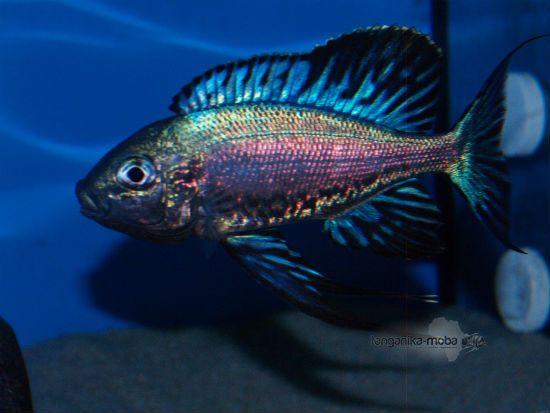 Cyathopharynx African Cichlid Aquarium Aquarium Fish Cichlid Fish