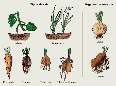 Tipos De Raices Medicinales Buscar Con Google Plants Flora Animals