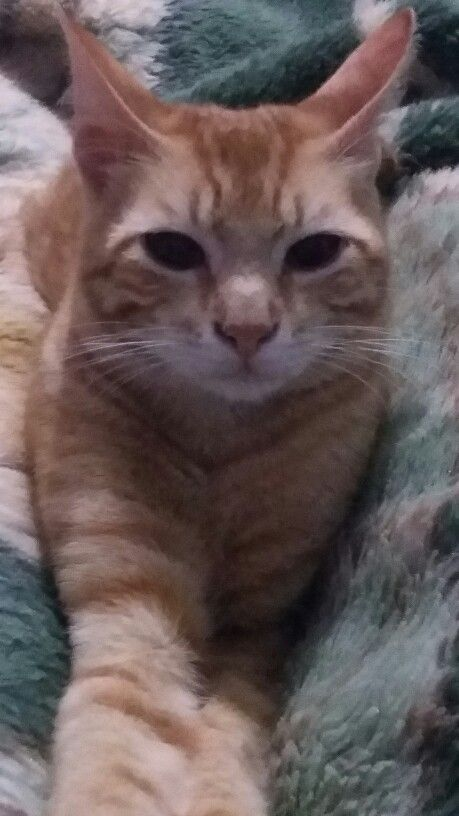 Adopt Klyde From Feline Rescue Inc St Paul Mn Adult Male Fully Vetted Playful Friendly Mellow Cozy Boy Cat Adoption Kitten Adoption Cats And Kittens