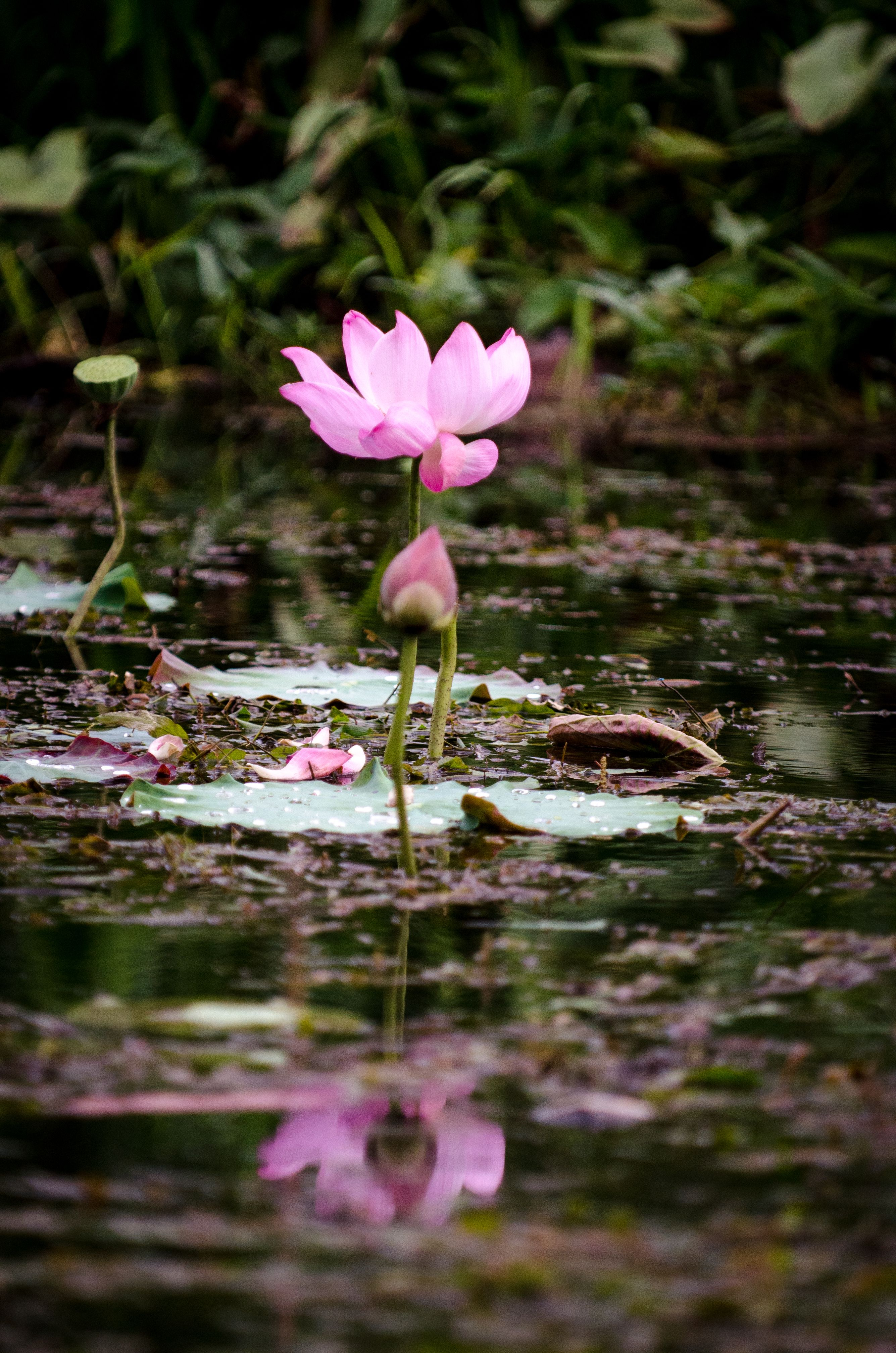 The Thai Lotus flower; a symbol of love and transformation
