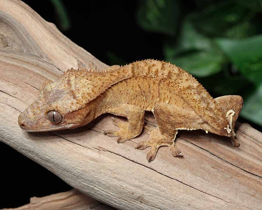 Brindle Crested Gecko for sale   Reptiles   Crested gecko