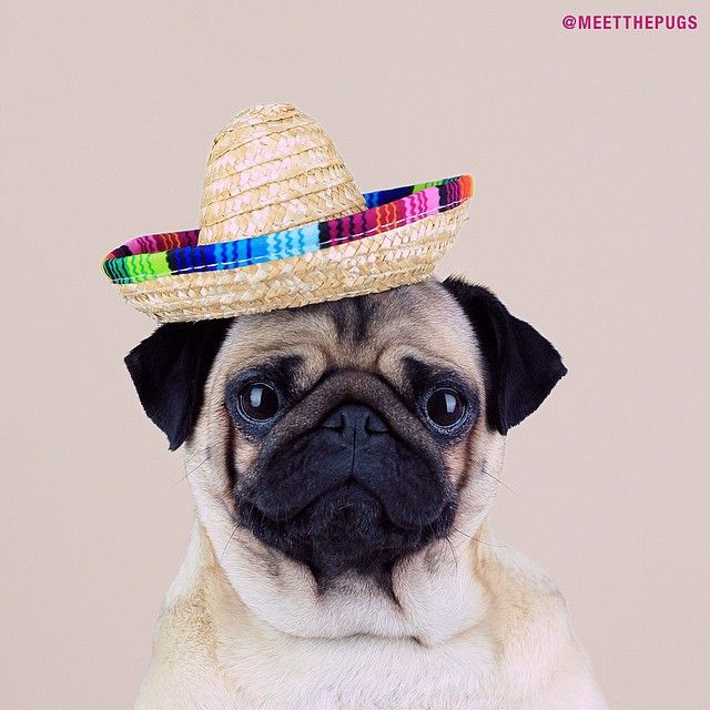 """""""Did you just say enchiladas??"""" - LOULOU #enchiladas #sombrero #ootd #currentmood #pug #loulou #meetthepugs #pugs #puglife #puglove #cute #lol #WeeklyFluff #mexico #instacool #instacute #instagram #mops #dog #hund #potd #pictureoftheday"""