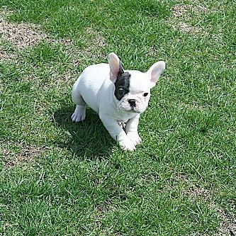 Manny The Frenchy Bulldog French French Bulldog Dog Dog Education Puppy Click On The Link Below To Educate Your Dogs Easily
