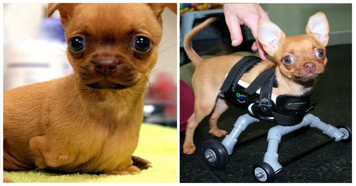 Hero Rescues Adorable Puppy Born Without Front Legs And Then Does