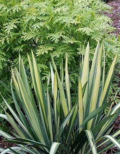 Fiori Yucca.Yucca Flaccida Golden Sword Fiori E Piante