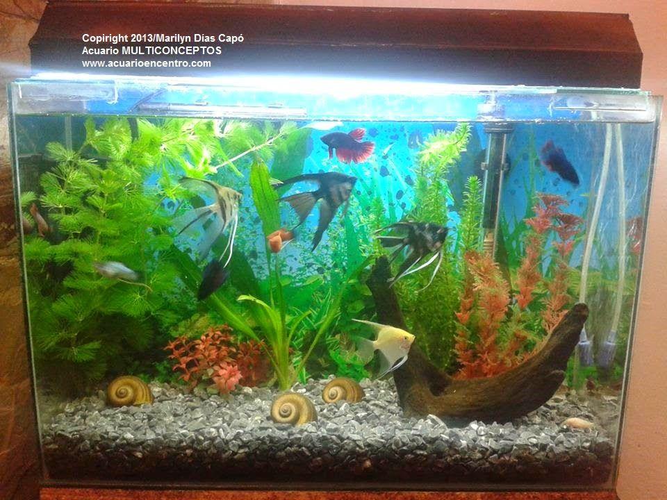 Peces tropicales de agua dulce fotos de los 17 acuarios for Comida para peces tropicales acuario