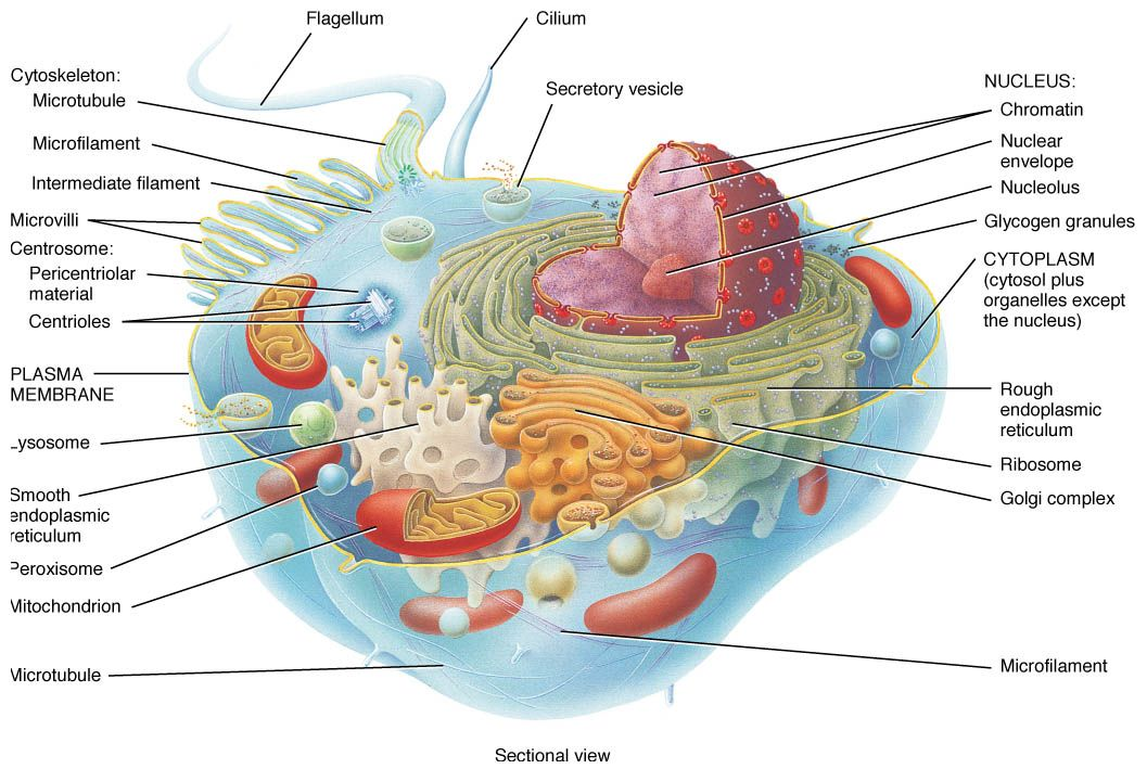 Cell Organelles and Their Functions - Bing Images ...