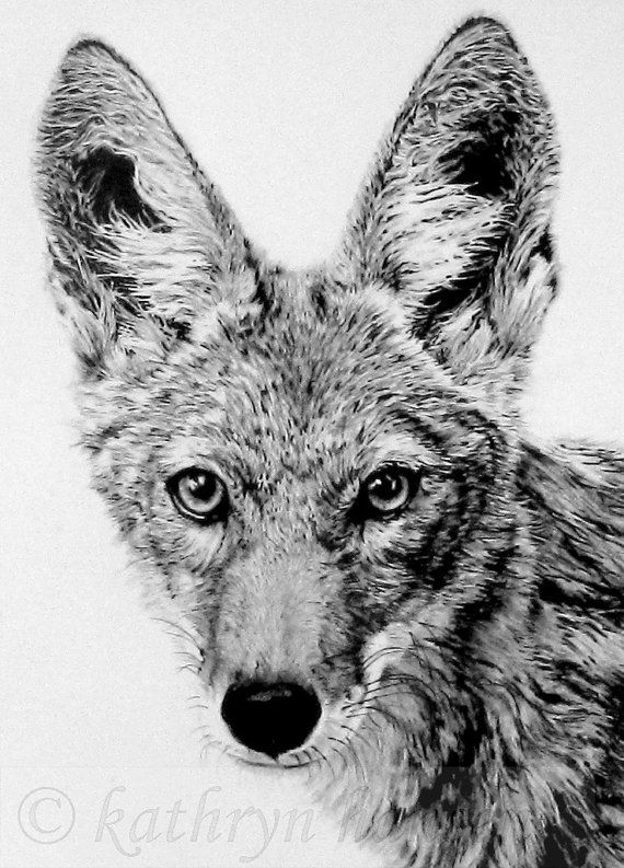 The Trickster By Kathryn Hansen Http Fineartamerica Com Featured The Trickster Kathryn Hansen Html Part Of The Proce Coyote Animal Sketches Animal Drawings