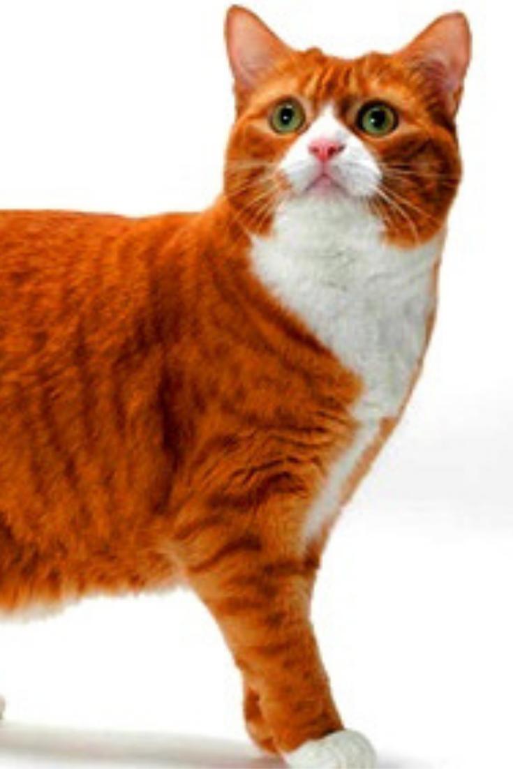 Orange Manx Cat Large Cat Breeds Manx Cat Cat Breeds