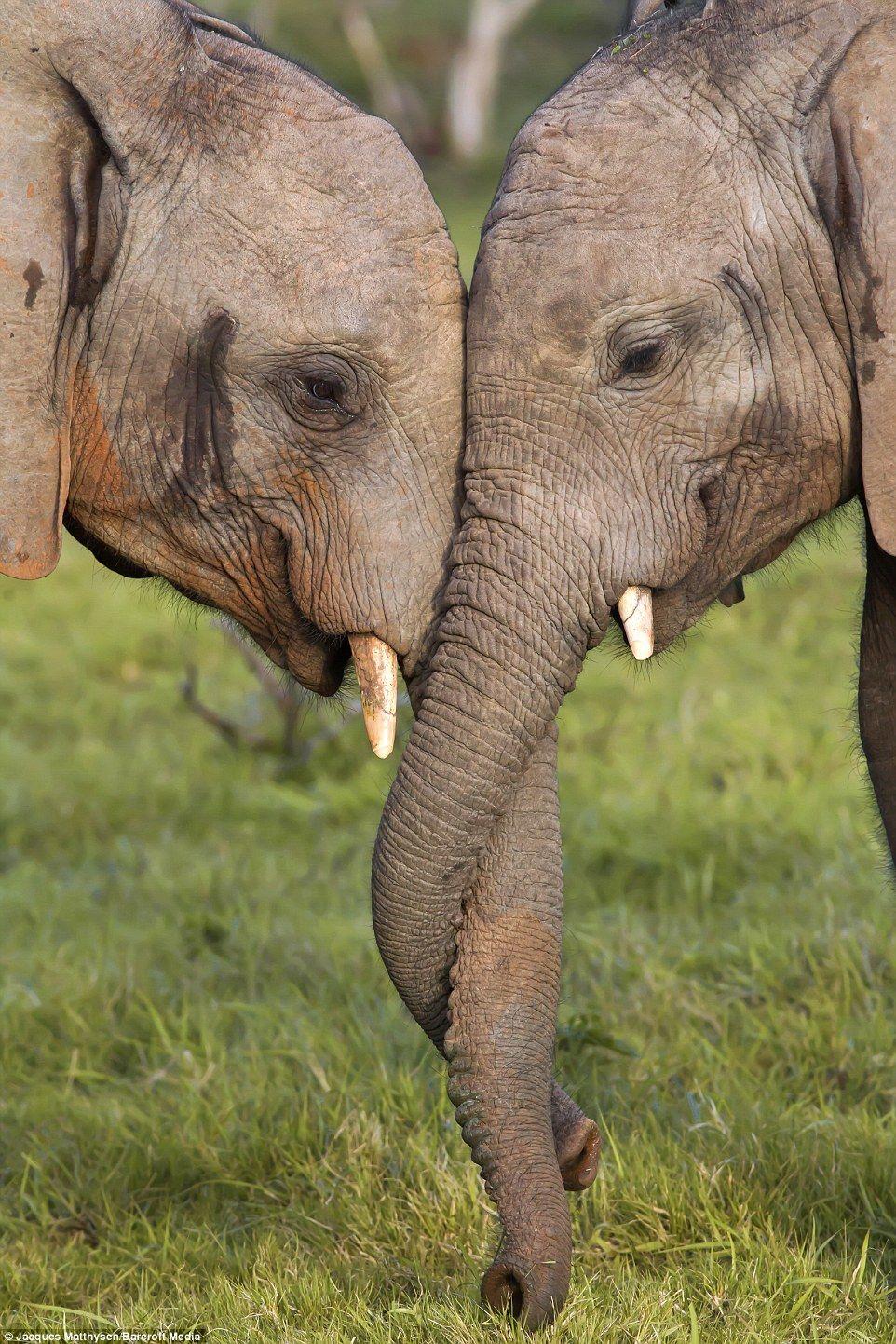 Elephants lock trunks in heart-warming display of ...