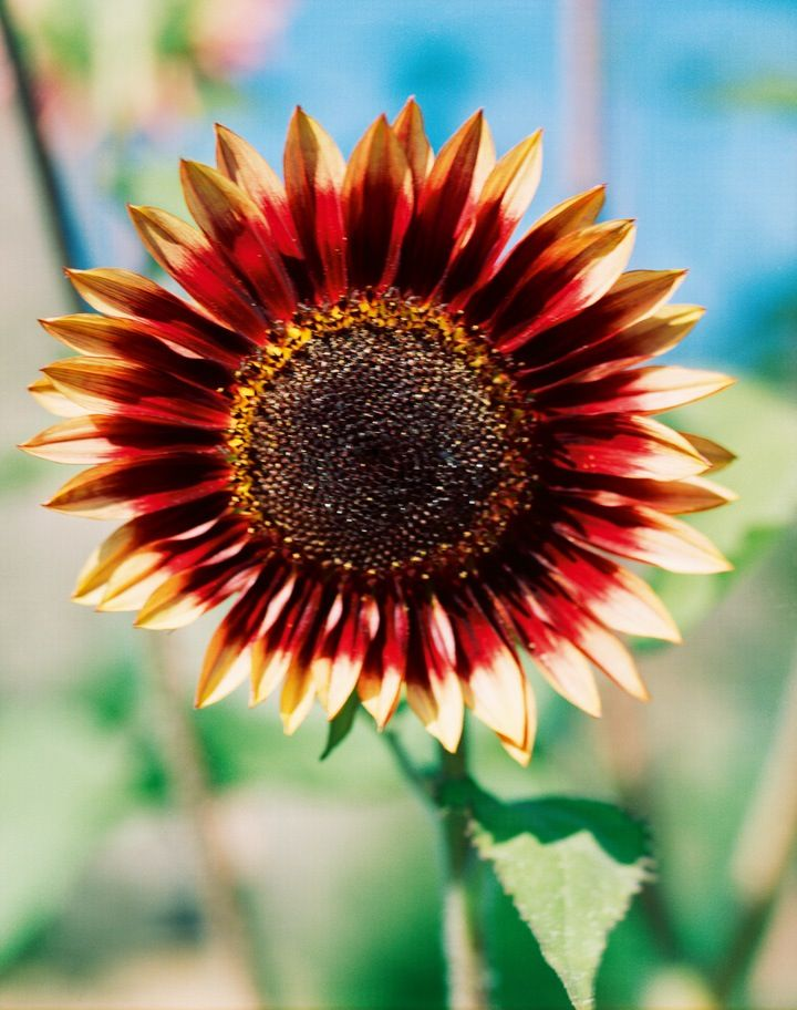 """Sunflower No.4 Thomas Struth """" [When] I am taking a photograph, I am conscious that I am taking images rather than taking snapshots."""" -Thomas Struth"""