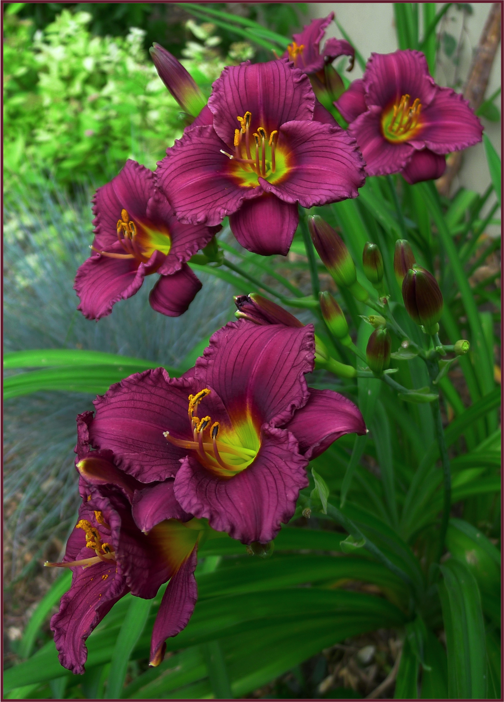 Another Reblooming Cultivar Of Daylily Little Grapette Is A Dwarf