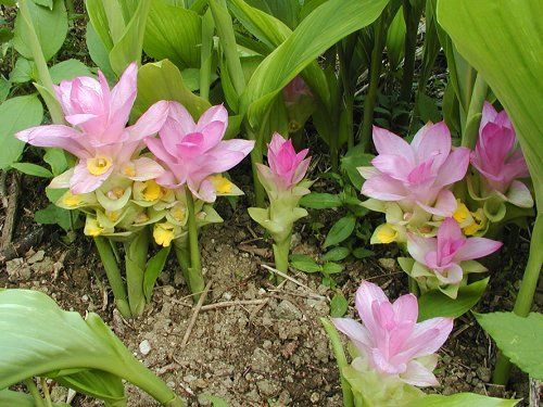 CURCUMA AROMATICA SALISB (NGHỆ TRẮNG) | Curcuma, Herbe, Plante medicinale