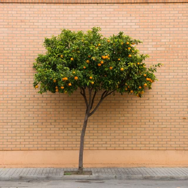 10 arbolitos para tu patio los naranjos enanos jardines