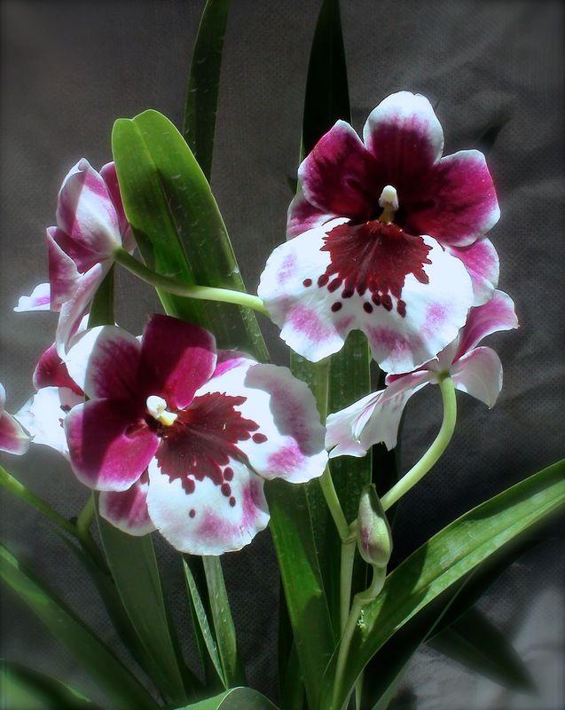 Miltoniopsis 'Rubenesque'