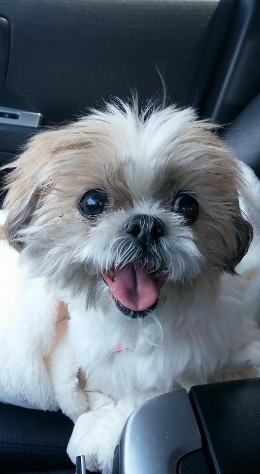 Adopt Chloe On Petfinder Shih Tzu Shih Tzu Dog Shih Tzu Puppy