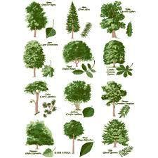Resultado de imagen para tipos de arboles y sus nombres for Tipos de pinos para jardin fotos